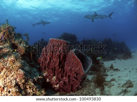 Two barrel sponges sitting on a reef with some Caribbean reef sharks swimming in the background - stock photo