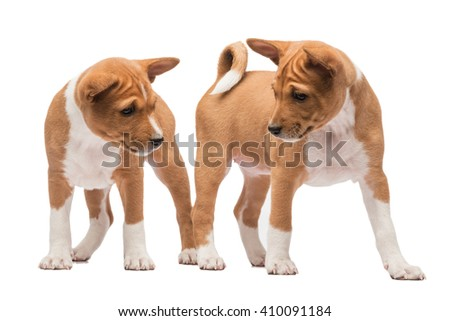 Two basenji puppies standing looking at each other  - stock photo