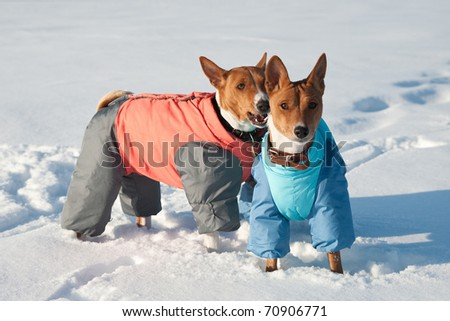 Two basenjis on a snowfield, basenjis playing in a snow, winter dog's portrait