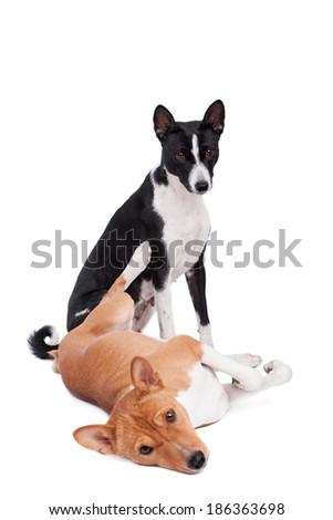 Two Basenjis on white - stock photo