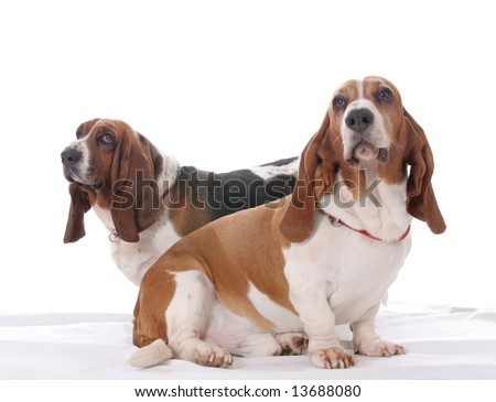 Two basset hound dogs together on a white background.