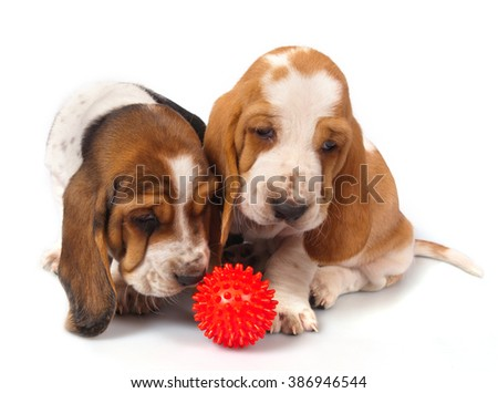Two basset hound puppy on a white background with a red ball