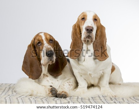 Two basset hounds in a studio.