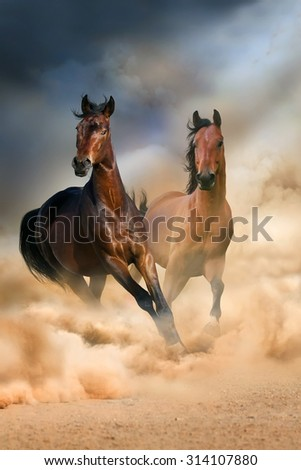 Two bay stallion run at sunset in desert dust - stock photo