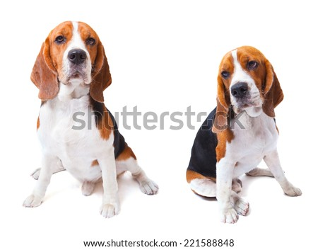 two beagle dogs sitting on white background use for animals and lovely pets and doggy theme