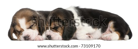 Two Beagle Puppies, 1 month old, lying in front of white background