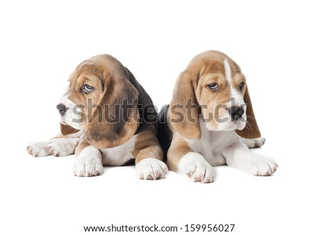 two beagle puppy isolated on a white background in studio