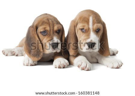 two beagle puppy on a white background in studio