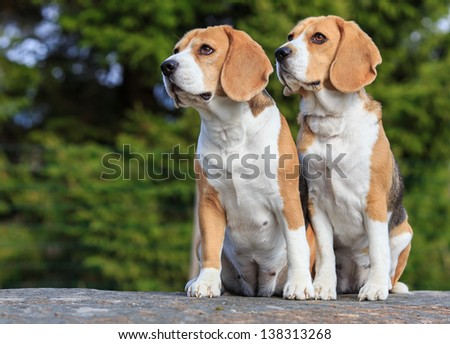 Two beagle sisters - stock photo