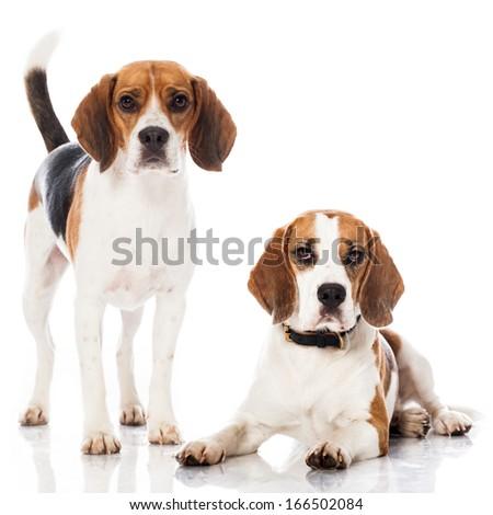 Two beagles - stock photo