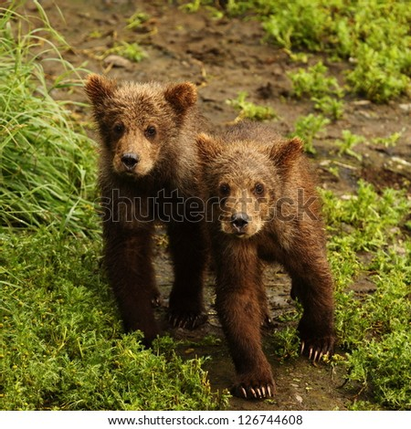 Two Bear Cubs - stock photo