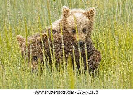 Two bear cubs climbing on each other in the field - stock photo