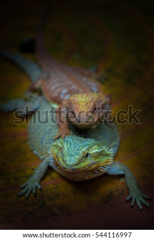 two bearded dragon mating
