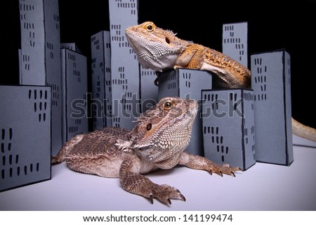 two bearded dragon playing Godzilla - stock photo