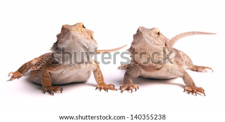two bearded dragons (male and female)  isolated on white - stock photo