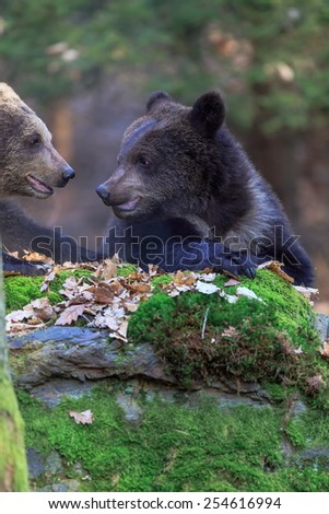 two bears behind stone - stock photo