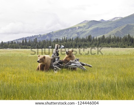 Two bears playing on a tree stump in Denali National Park - stock photo