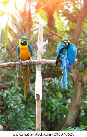 Two beautiful adult blue and yellow macaw perched on a wooden post basking in the sun - stock photo
