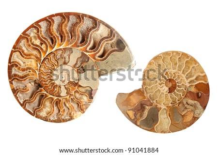 Two beautiful ammonites isolated on white background - stock photo