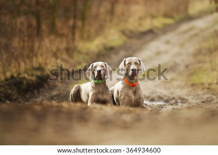 Two beautiful and young weimaraner dog puppy lying on bahniv���© trail and waiting attentively, hunting and winter training - stock photo
