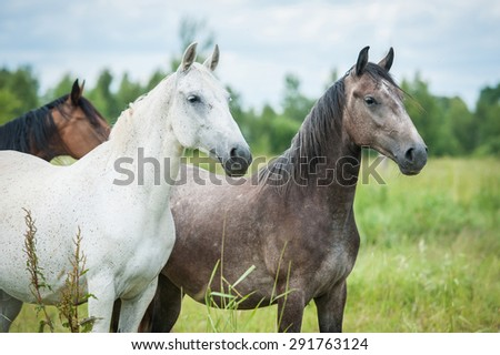 Two beautiful andalusian horses - stock photo