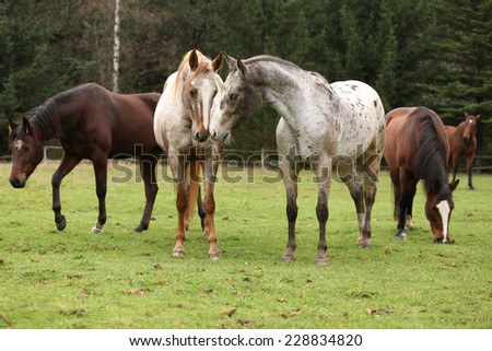 Two beautiful appaloosas together, with other horses in background - stock photo