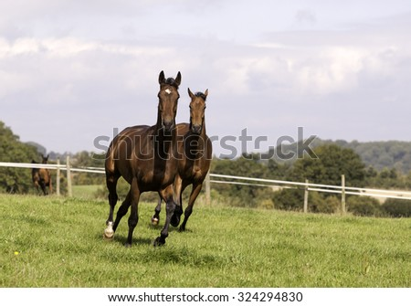two beautiful bay horses galloping in a field together