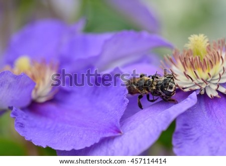 Two beautiful bees mating on flower clematis. selective focus. - stock photo