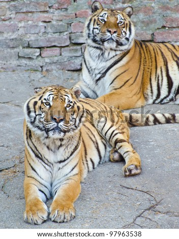 Two beautiful Bengal tigers resting - stock photo