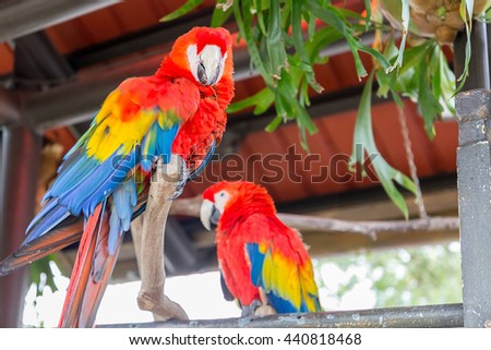 Two Beautiful Big Red Scarlet Macaw (Ara Macao) sitting on the Branch with Fresh Green Leafs in the Background, Hong Kong, Close-up - stock photo
