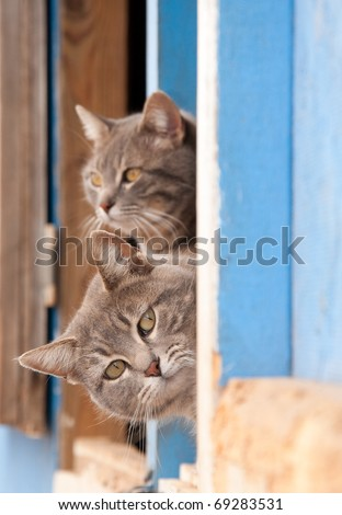 Two beautiful blue tabby cats peeking out of a barn door - stock photo