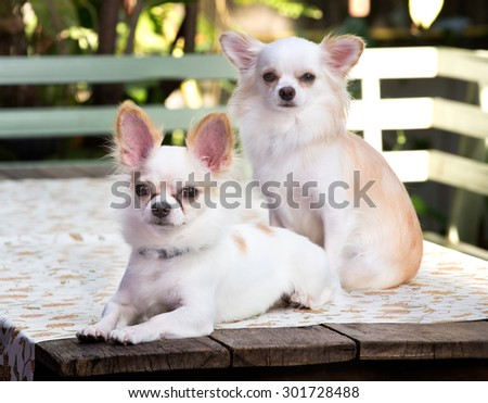 Two beautiful chihuahua dog,On the table, Image select focus - stock photo