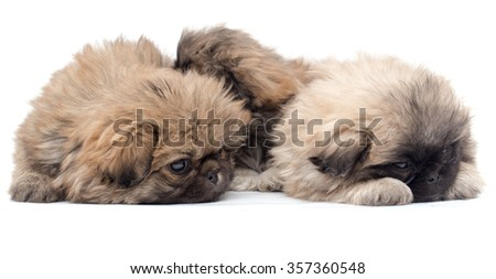 two beautiful fluffy little puppy on a white background