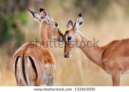 Two beautiful Impala antelopes, head profile portrait, Masai Mara, Kenya - stock photo