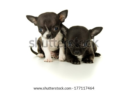 Two beautiful little Chihuahua puppy playing isolated - stock photo