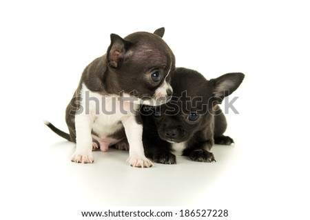 Two beautiful little puppy play - stock photo