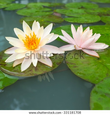 two beautiful lotus or water lily - stock photo