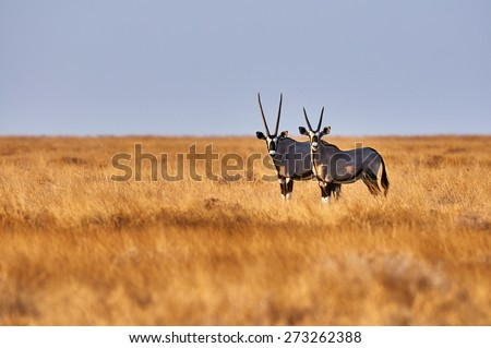 Two beautiful oryx in the savannah of Etosha National Park in Namibia - stock photo