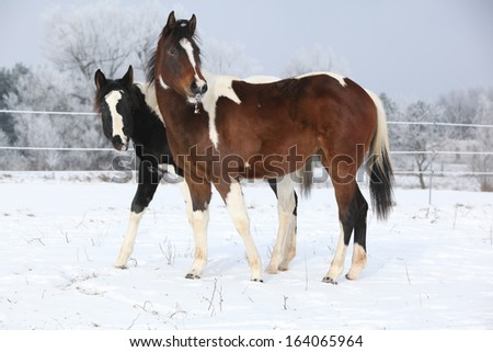 Two beautiful paint horse mares together in winter - stock photo
