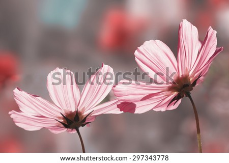 two beautiful pink cosmos flowers, back lighted in soft pink tones - stock photo