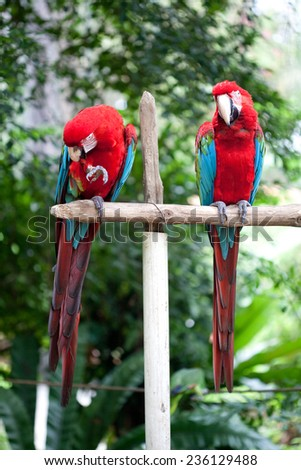Two beautiful red and blue macaw perched on a wooden post  - stock photo