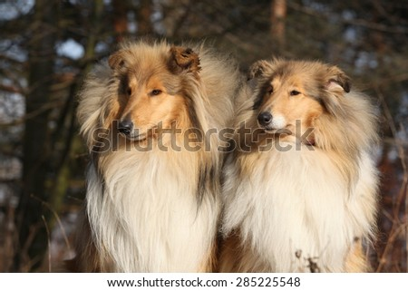 Two beautiful scotch collies sitting in the forest