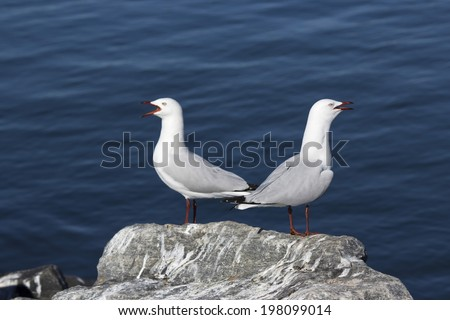 Two  beautiful seagulls   seabirds of the family Laridae in the sub-order Lari  are  perched on a  granitic rock on a fine morning in early winter squawking loudly. - stock photo