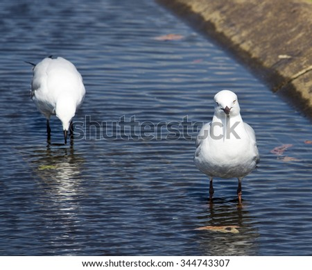 Two beautiful seagulls  seabirds of the family Laridae in the sub-order Lari  reflected in the  puddle are  enjoying a cool sip of water  in the parking area of the park on a sunny summer afternoon.