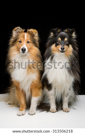 Two beautiful Shetland sheepdogs sitting together white floor over black background - stock photo