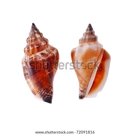two beautiful spiral seashell isolated on white - stock photo