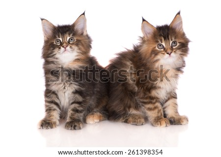 two beautiful tabby maine coon kittens