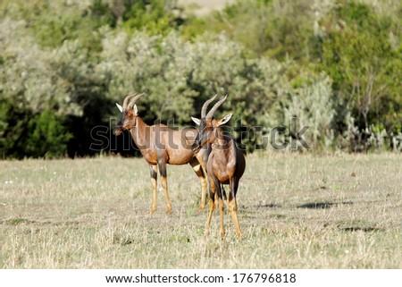 Two beautiful Topi antelopes in the Savannah, Masai Mara - stock photo