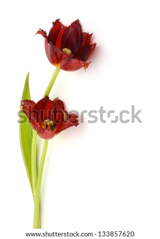 Two beautiful tulips, isolated on white background - stock photo