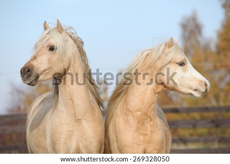Two beautiful welsh stallions together in autumn - stock photo